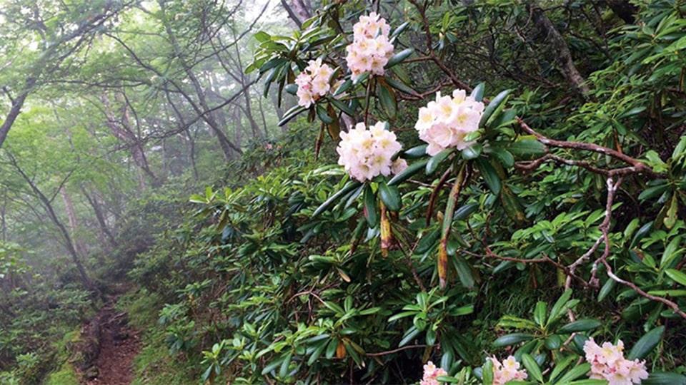 富士山に自生する植物