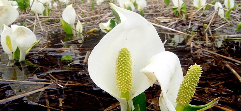 <水芭蕉>残雪が消える6月初旬が水芭蕉の見頃。同じ頃に咲くリュウキンカの黄色い花が更に色を添えます。