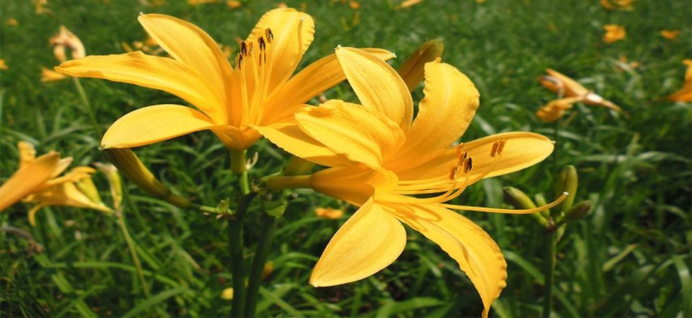 <ニッコウキスゲ>尾瀬が最も華やかな7月下旬がニッコウキスゲの見頃です。黄色の花で湿原が埋まります。