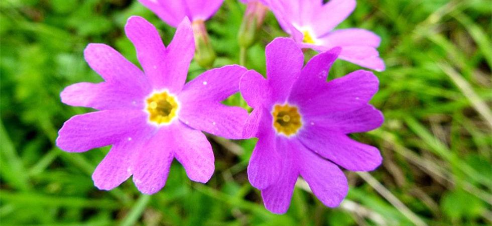 <ハクサンコザクラ>湿性お花畑を代表する植物のひとつ。6月下旬が見頃です。