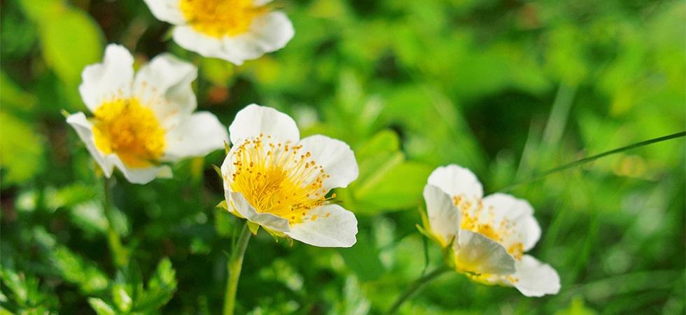 <チングルマ>楚々として可愛らしいチングルマは6月中旬が見頃です。木道端や足元でよく見かける花です。