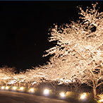 佐渡金山夜桜祭り